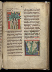Female Mandrake And Wild Thyme, In A Collection Of Medical And Herbal Texts
